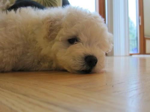 Beast, nama anjing gembala Hungaria yang diadopsi Chan dan Zuckerberg pada 2011