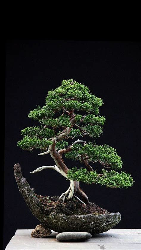 juniper tree wallpapers top  juniper tree