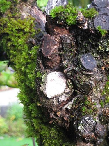 apple tree moss