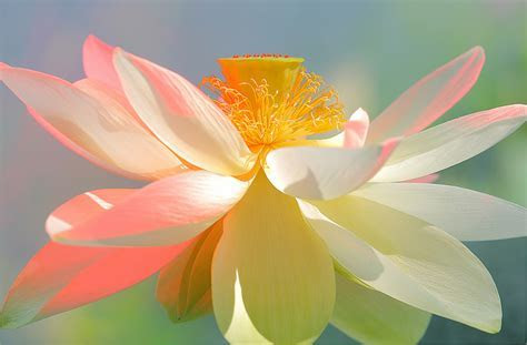 How to Choose Lotus Flowers or Water Lily Flowers for Your