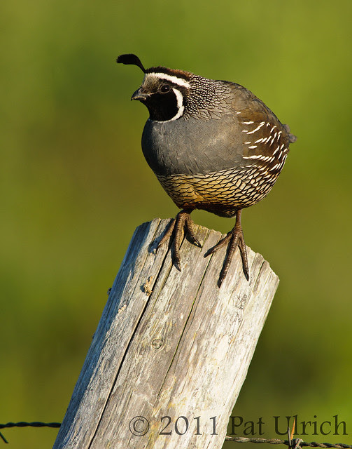 Quail on a post