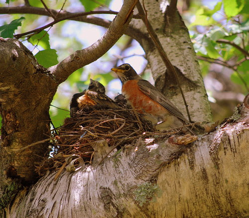 Robins - looking
