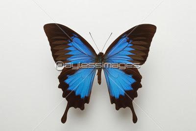青い蝶の写真イラスト素材 写真素材ストックフォトの定額制ペイレス