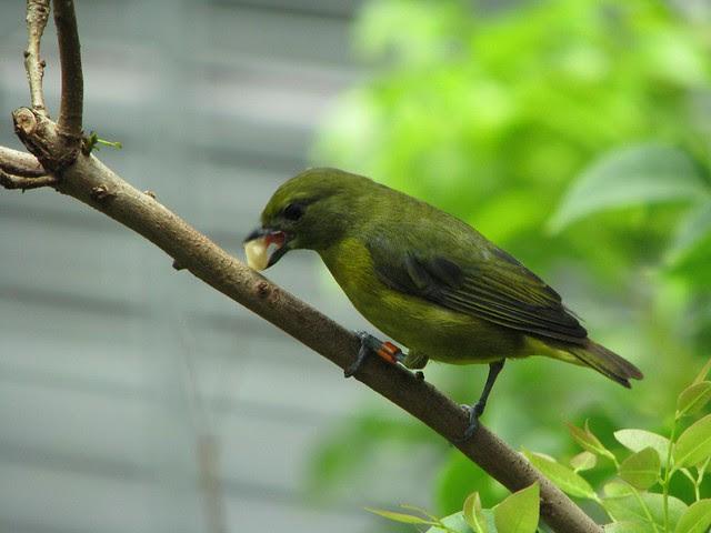 Saffron Finch, CAS Rain Forest