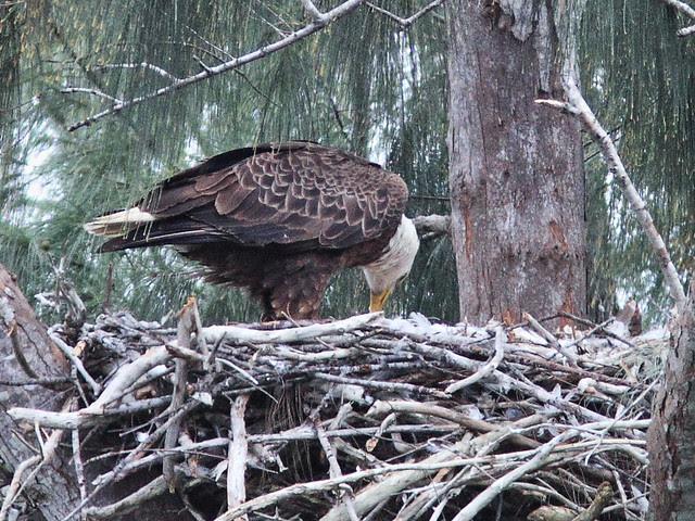 Bald Eagle female feeding eaglets 20140121