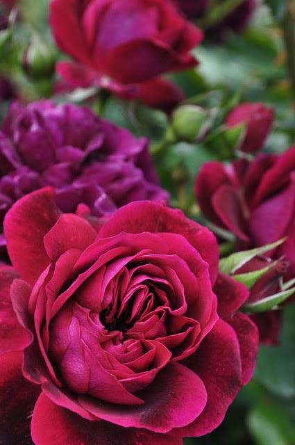 Rose Tradescant