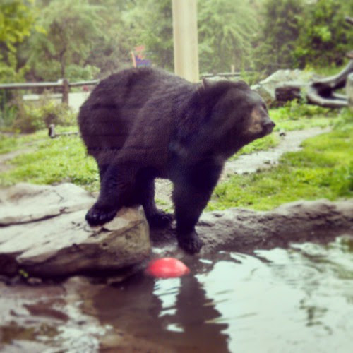 Play ball! #stonezoo #BlackBear