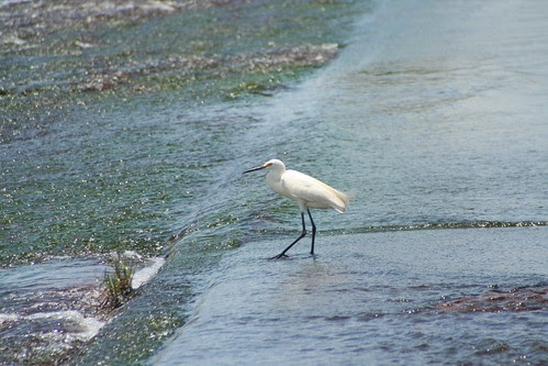 Egret at Fogg Dam