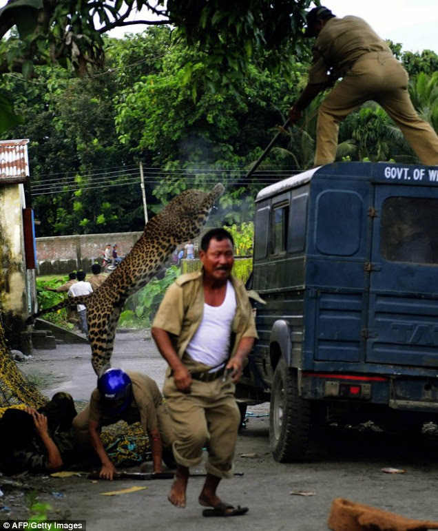 A forest guard aims his rifle as he is attacked by the leopard. One villager lies injured on the ground while another runs for his life