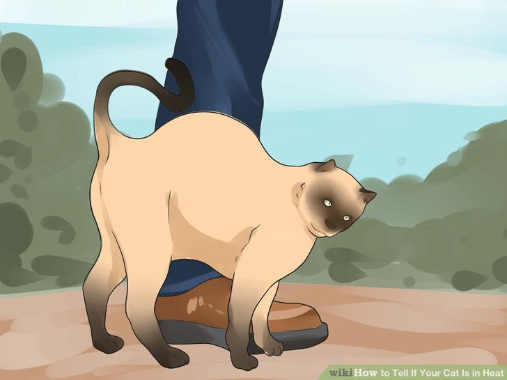 Tell if Your Cat Is in Heat Step 3 Version 2.jpg
