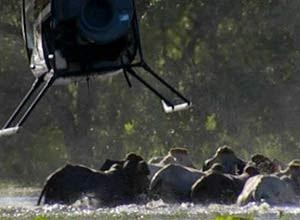 Caubóis australianos usam helicópteros para tocar boiada, arriscando a vida no norte do país