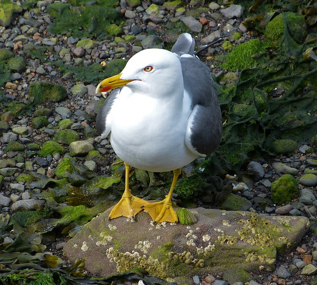 26944 - Lesser Black Backed Gull, Oban