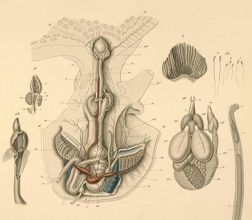 Mollusca g