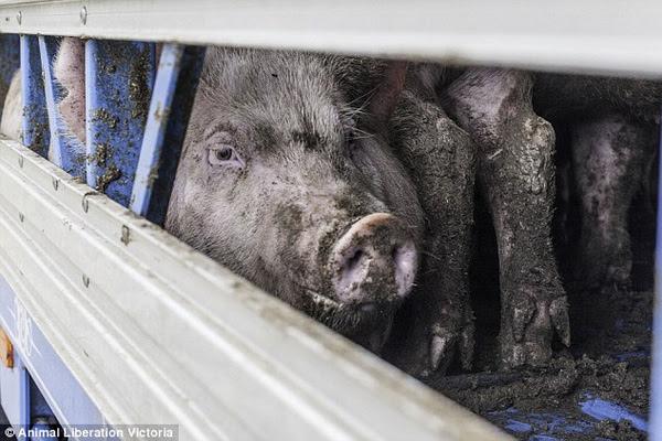 Hình ảnh Xót xa đoạn clip đàn lợn vùng vẫy khi bị giết bằng khí ngạt số 1