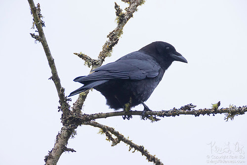 American Crow on Weathered Branch, Snohomish County, Washington