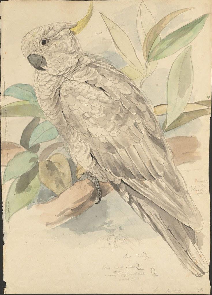 Sulphur-crested cockatoo sketch