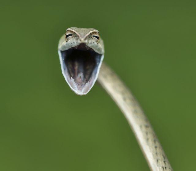 Vine snakes are very commonly seen snakes in the western ghats of India. When approached, they show aggression by opening their mouth wide open. There's nothing to be scared of this beautiful harmless Vine snake. The photographer was was happy to find it and said that it looked like it was smiling at him. Image Courtesy: Aditya Kshirsagar/Comedy Wildlife Photography Awards 2021