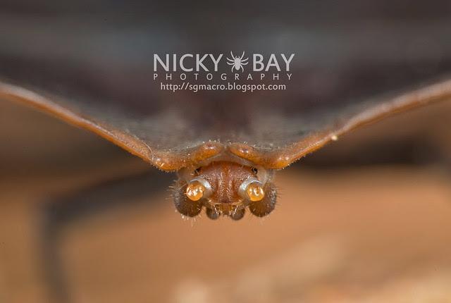 Trilobite Beetle (Duliticola sp.) - DSC_8746