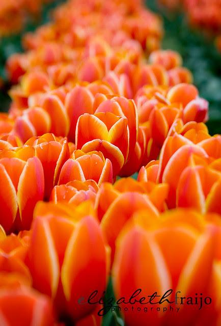 Tulips01W