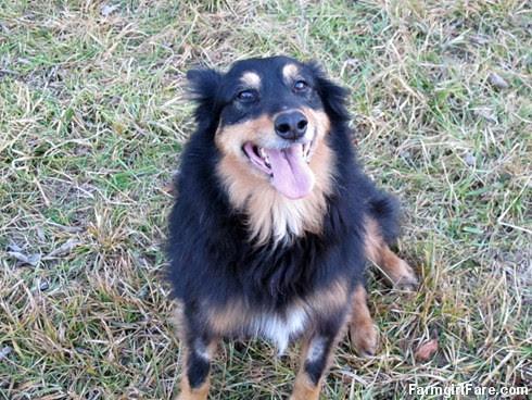 Lucky Buddy Bear, ace cattle dog (15) - FarmgirlFare.com