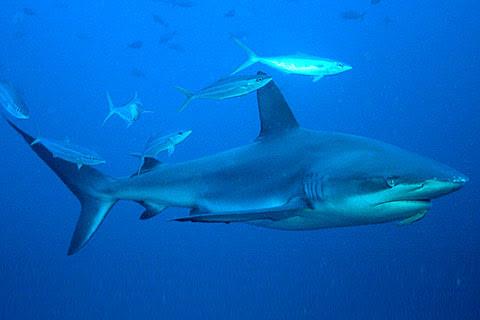Hiu Galapagos