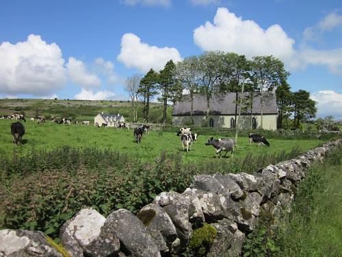 Cows in Caran