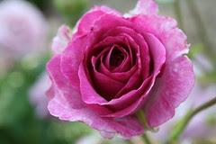 Walnut Hill Park Rose Garden