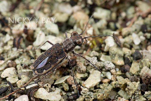 Tiger Beetle (Cicindelinae) - DSC_7171