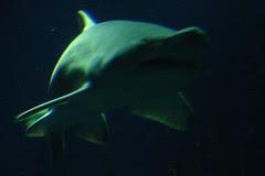 02-Tiger Sand Shark