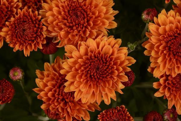 Mum Chrysanthemum X Morifolium Miranda Orange Lucas Greenhouses