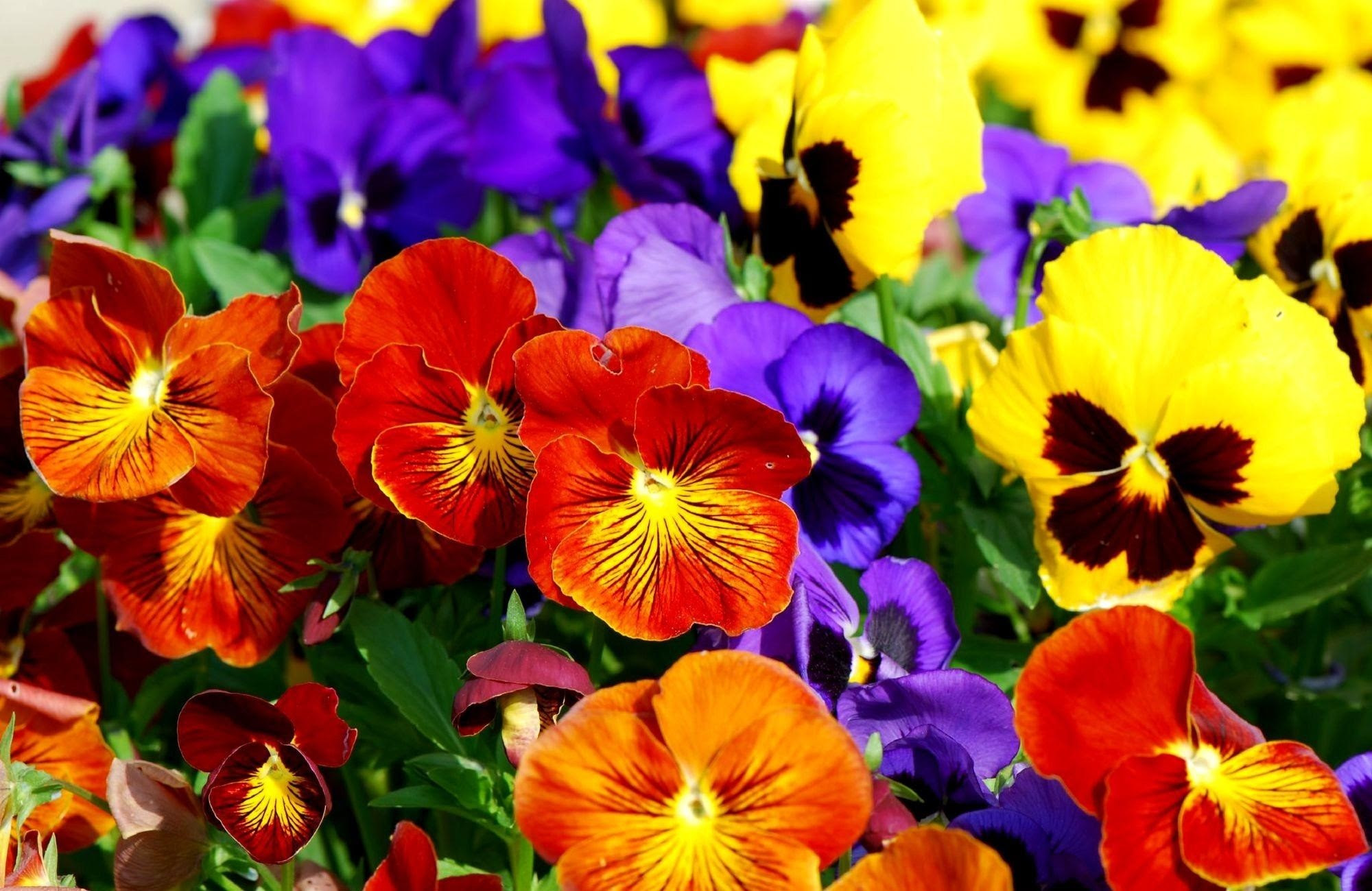 Pansies Flowers Bright Colorful Wallpaper And Background