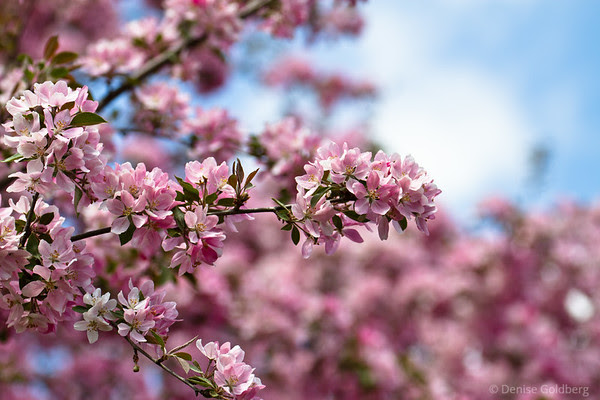 flowering tree, layers of pink