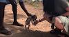 Un perrito rescatado logra olvidar su triste pasado gracias a unos amorosos chimpancés