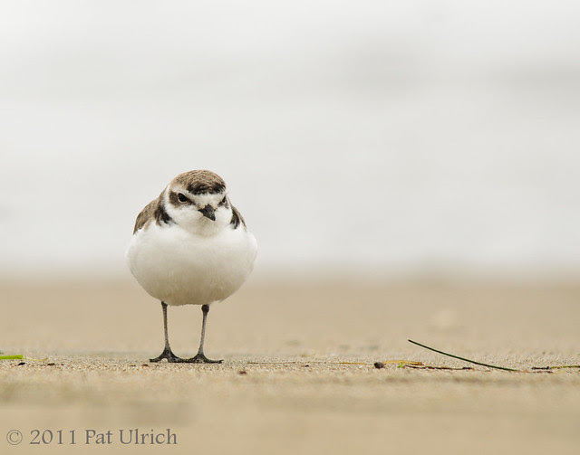 Western snowy plover, Point Reyes National Seashore - Pat Ulrich Wildlife Photography