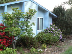 Front of the house with blooming rhodies
