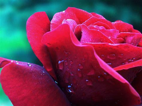 flowers  flower lovers rose flower desktop wallpapers