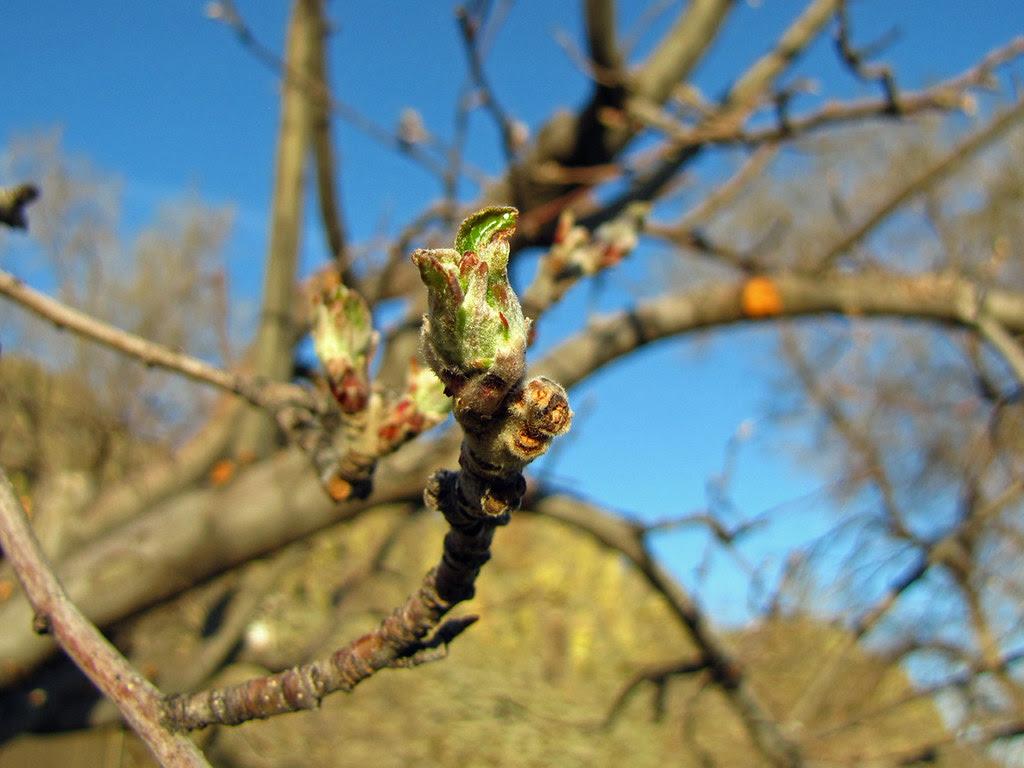 Apple Leaf Bud