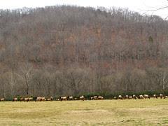 Lots of  elk
