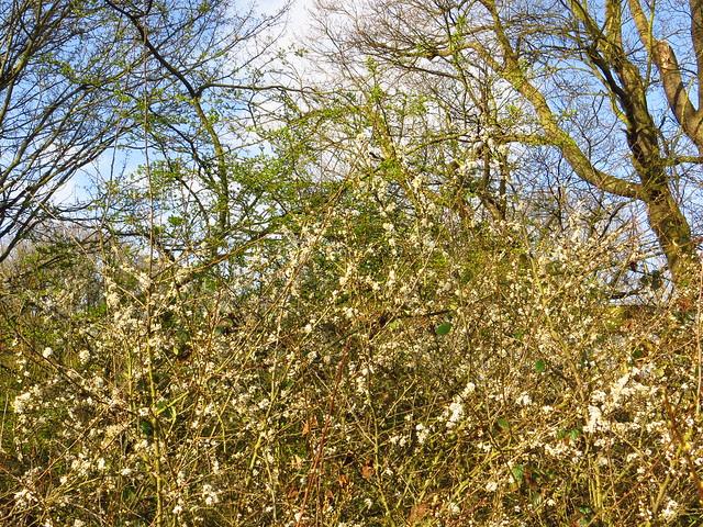 Flowering Blackthorn on Upper Cohen's Field