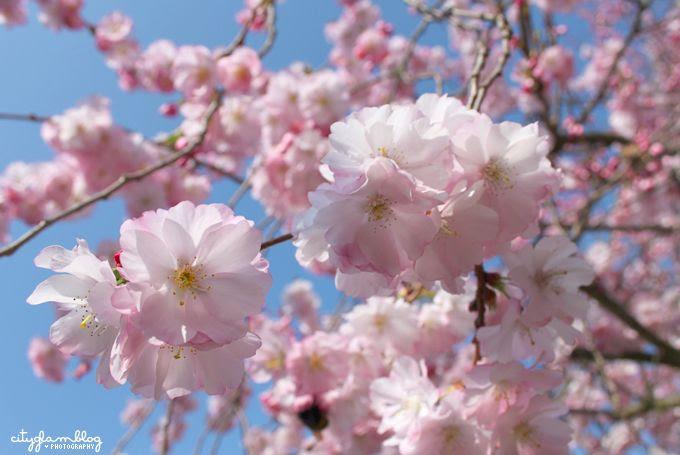 http://i402.photobucket.com/albums/pp103/Sushiina/cityglam/blossom3.jpg
