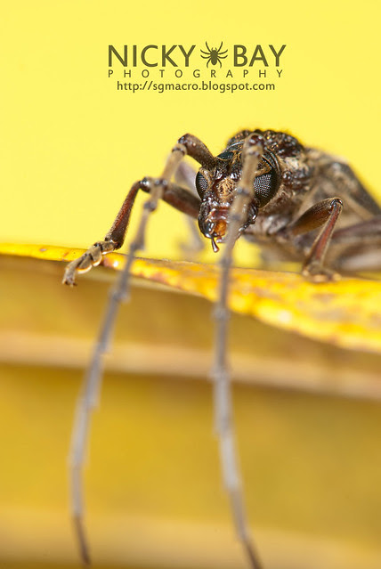 Longhorn Beetle (Cerambycidae) - DSC_6015