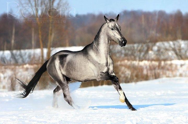 Silver-animal buckskin horse