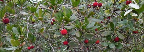 Κουμαριά (Arbutus unedo)