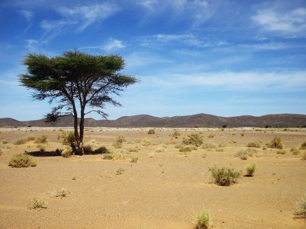 Sahara-desert-Maroc-arbre