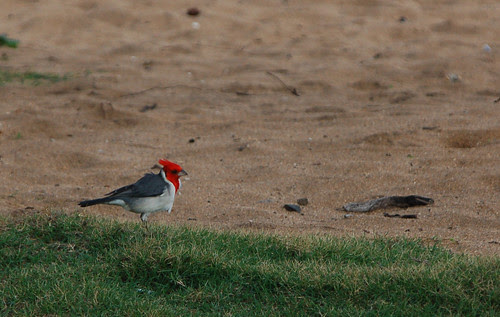 red crested cardinal w sand.jpg