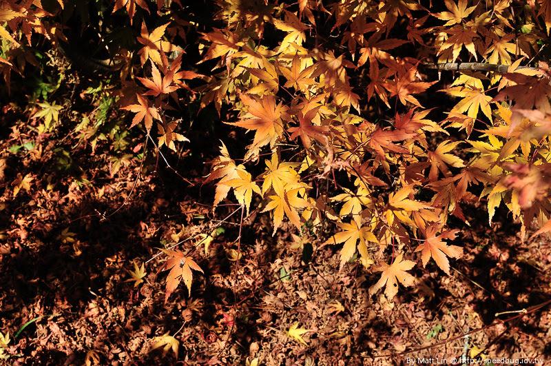 福壽山農場楓紅-48