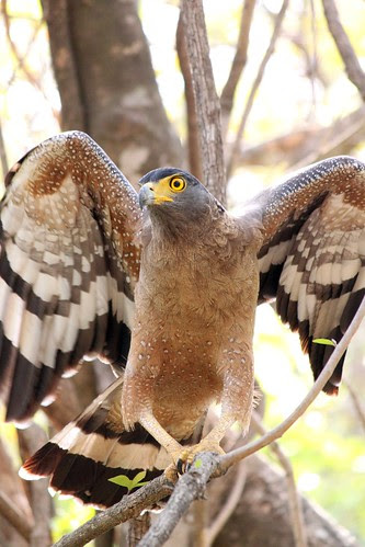 Crested Serpent Eagle on the verge of flight