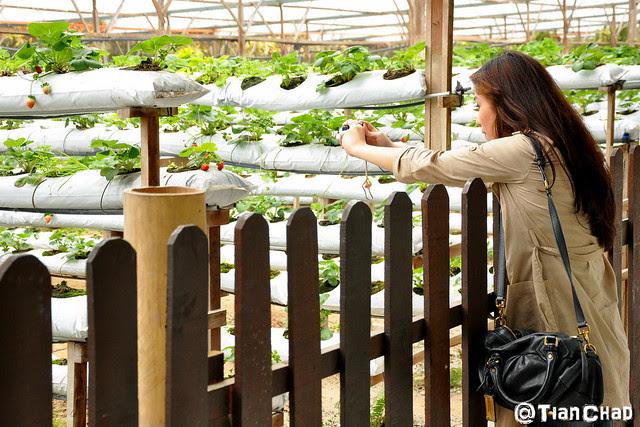Genting Strawberry Farm with Flower and Mushroom