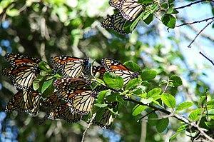 English: Migrating Monarch butterflies (Danaus...