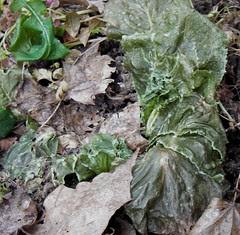 frozen lettuce